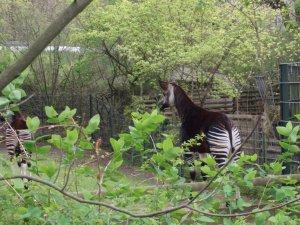 Lycka är en okapi